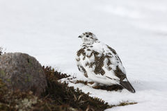 Ptarmigan, Lagopus mutus Royalty Free Stock Photos
