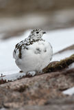 Ptarmigan, Lagopus mutus Royalty Free Stock Photography
