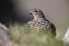 Ptarmigan, Lagopus mutus Stock Photos