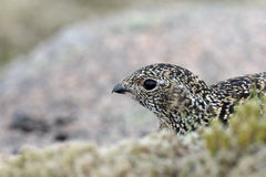 Ptarmigan, Lagopus mutus Stock Photography