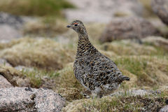 Ptarmigan, Lagopus mutus Stock Images