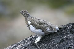 Ptarmigan (mutus Lagopus) Royalty-vrije Stock Foto
