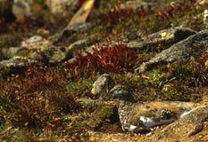 лето ptarmigan plummage Стоковое фото RF