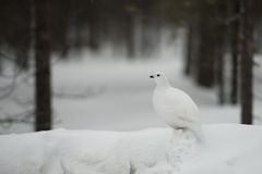Ptarmigan portrait on snow Stock Photos