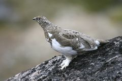 Ptarmigan on a rock. Ptarmigan (Lagopus mutus) on a rock near Qoornoq Royalty Free Stock Photo