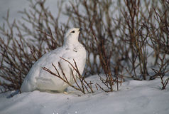 Ptarmigan in Snow Stock Photography