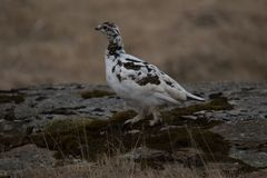 ptarmigan or snow partridge. Lagopus stock photos