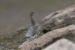 Ptarmigan in summer blue coat, heather and behaviour. Ptarmigan in summer blue coat against a bare ground and heather purple, close up/portraits and with Royalty Free Stock Photography