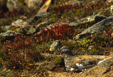 Ptarmigan in Summer Plummage Royalty Free Stock Photo