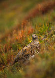 Ptarmigan in Summer Plummage Stock Image