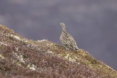 Ptarmigan in summer/winter coat against heather and mountain background. Scottish Ptarmigan in summer/winter coat against heather in the mountains, cairngorms Royalty Free Stock Images