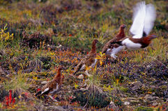 Ptarmigan take off Stock Photos