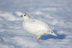 Ptarmigan w śniegu Obraz Stock