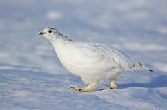 Ptarmigan w śniegu Zdjęcie Stock