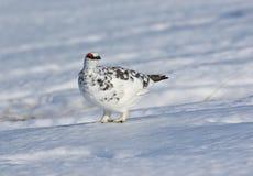 Ptarmigan w śniegu Zdjęcie Royalty Free