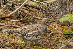 Ptarmigan in the wildness. In Colorado in springtime Royalty Free Stock Images