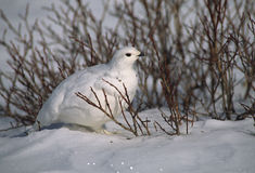 Ptarmigan in Willows. A ptarmigan in winter plumage standing in some willows Royalty Free Stock Photo