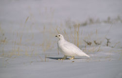 Ptarmigan in Winter. A ptarmigan in winter plumage standing in snow Stock Images