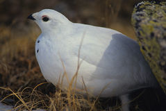 Ptarmigan in Winter. A ptarmigan in winter plumage huddled near a rock Stock Photo