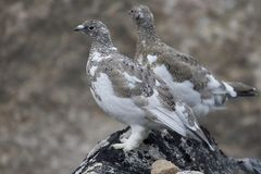 Ptarmigans (Lagopus mutus) Stock Photos
