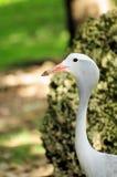 ptasi błękit żurawia portret Zdjęcie Royalty Free