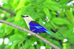 ptasi błękit Zdjęcie Stock