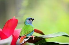 ptasi błękitny stawiający czoło parrotfinch zdjęcia stock