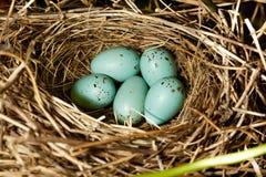 ptasi błonia gniazdeczka rosefinch zdjęcie stock