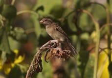 Ptasi biesiadowanie na słoneczniku Obraz Stock