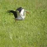 Ptasi bocian na tle zielona trawa Zdjęcie Royalty Free