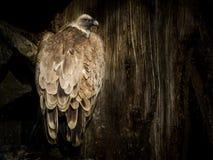 Ptasi Cinereous sęp Obrazy Royalty Free