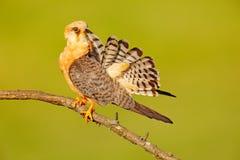 Ptasi cleaning ogonu upierzenie Footed jastrząbek, Falco vespertinus, ptasi obsiadanie na gałąź z jasnym zielonym tłem, cleaning  Fotografia Stock