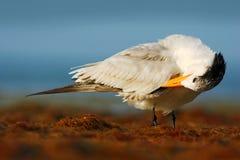 Ptasi cleaning upierzenie Tern w wodzie Królewscy Tern, mostków maksimumy, lub Thalasseus maximus, seabird na plaży, ptak w jasny Obrazy Stock