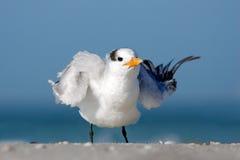 Ptasi cleaning upierzenie Tern w wodzie Królewscy Tern, mostków maksimumy, lub Thalasseus maximus, seabird na plaży, ptak w jasny Fotografia Royalty Free