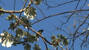 Ptasi Costa Rica zbiory wideo