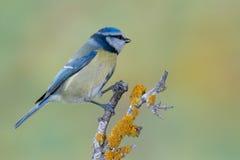 Ptasi Cyanistes caeruleus w przyrodzie Zdjęcie Stock