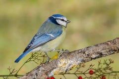 Ptasi Cyanistes caeruleus w przyrodzie Obrazy Stock
