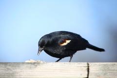 ptasi czarny czerwony oskrzydlony Obraz Royalty Free