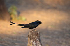 Ptasi czarny drongo Zdjęcia Royalty Free