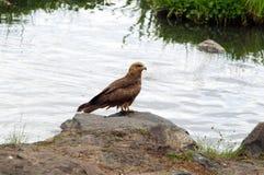 ptasi czarny kani zdobycz Fotografia Royalty Free