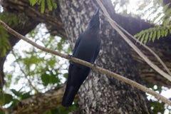 Ptasi czarny kruk na gałąź Obraz Royalty Free