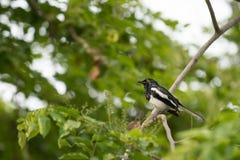 ptasi czarny mały Obraz Royalty Free