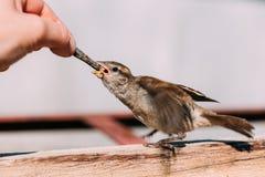 Ptasi Domowego wróbla Beaked przechodzień Domesticus Zdjęcia Stock