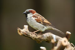 ptasi domowy wróbel Fotografia Stock