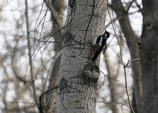 Ptasi dzięcioł w naturalnym siedlisku Dzięcioł rusza się szybko przez drzew, znajduje jedzenie i je je, Pogodny wiosna dzień w th Obraz Royalty Free