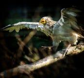 Ptasi Egipski sęp Obrazy Royalty Free