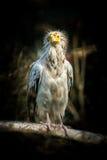 Ptasi Egipski sęp Zdjęcie Stock