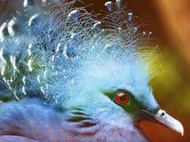 ptasi egzotyczny goura Victoria Obrazy Stock