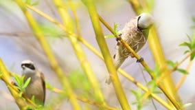 Ptasi Eurazjatycki penduline tit zbiera materiał dla gniazdeczka zbiory