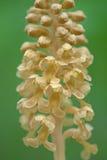 Ptasi ` gniazdeczka orchidei, Vogel-Nestwurz, Neottia nidus/ zdjęcia stock